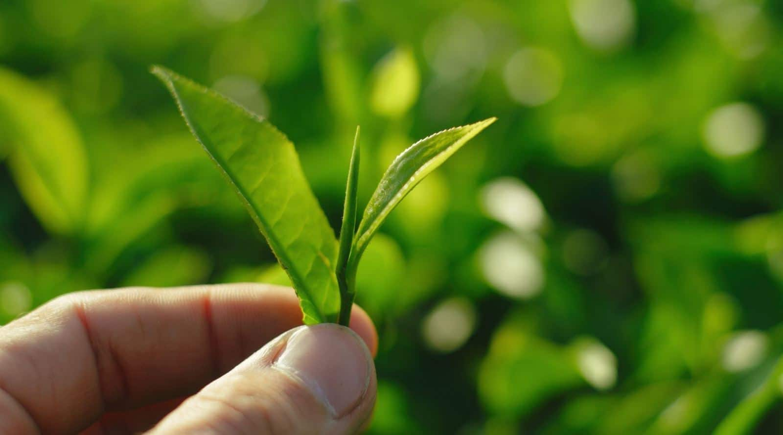 tea flush: everything you need to know
