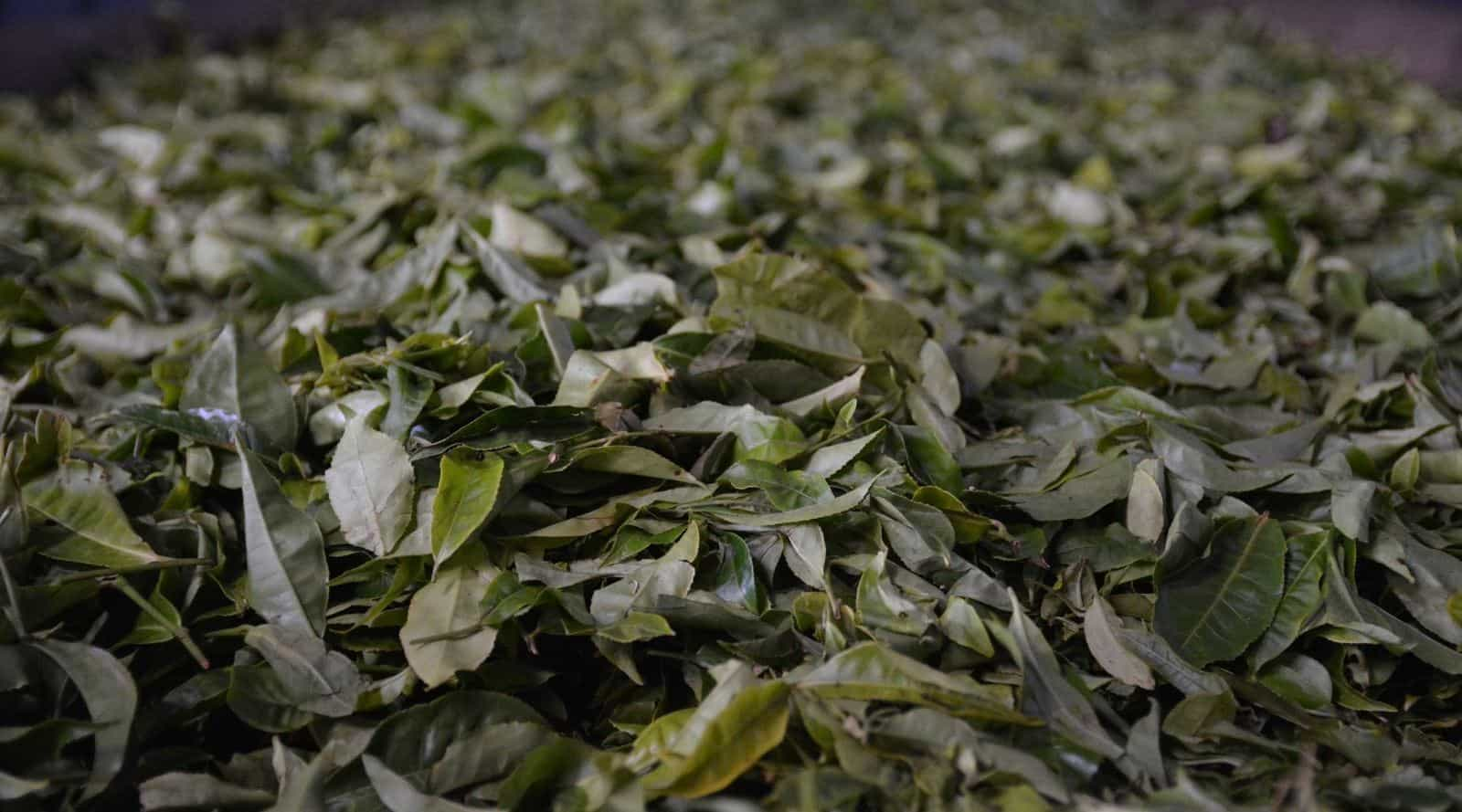tea fermentation vs oxidation – knowing the difference