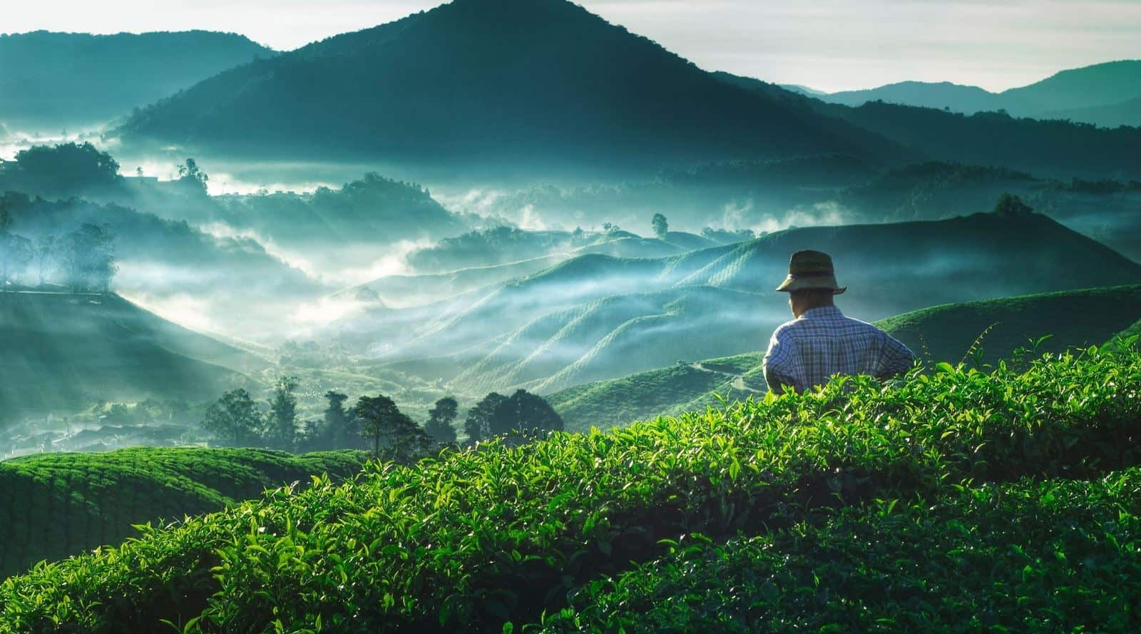 what are the climatic requirements for growing tea?