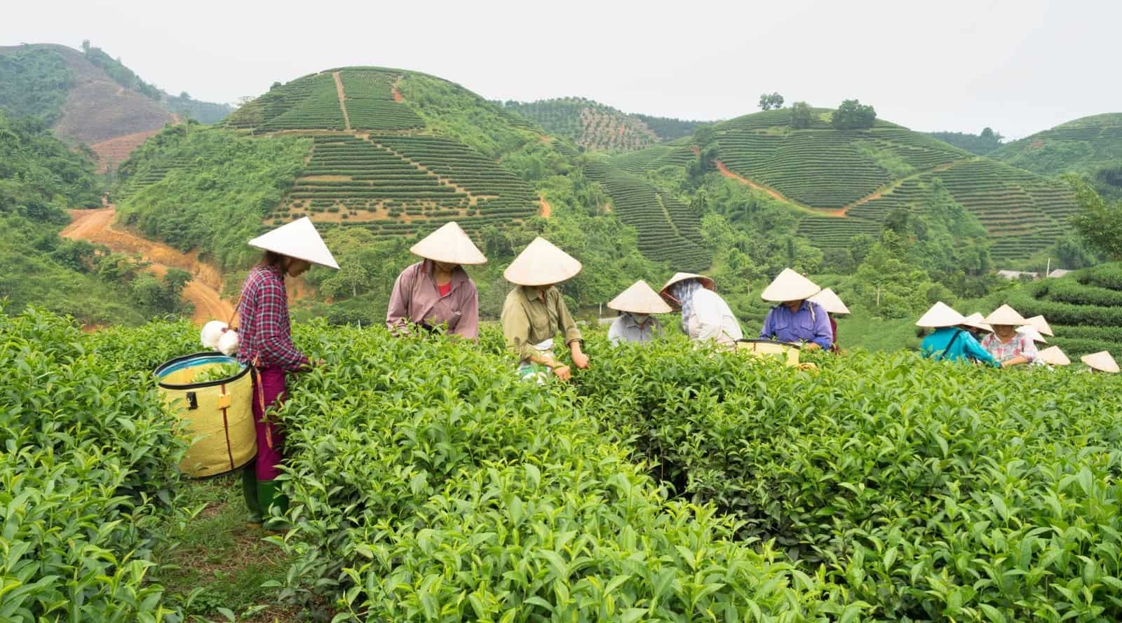 10 major tea producers – know where your favorite tea comes from