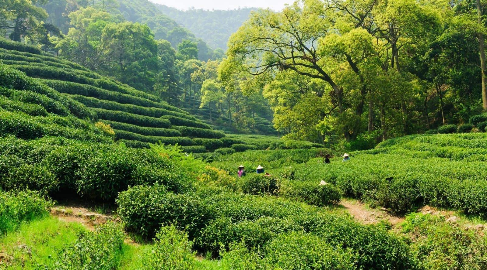 everything you need to know about long jing tea dragon well tea