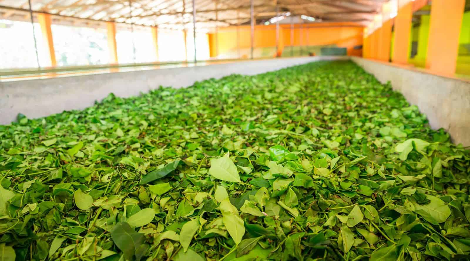 how tea is produced? tea processing and production steps